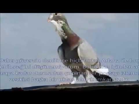 Ülkemizde Yetiştirilen Güvercin ırkları