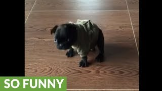 Puppy struggles to come to terms with new attire