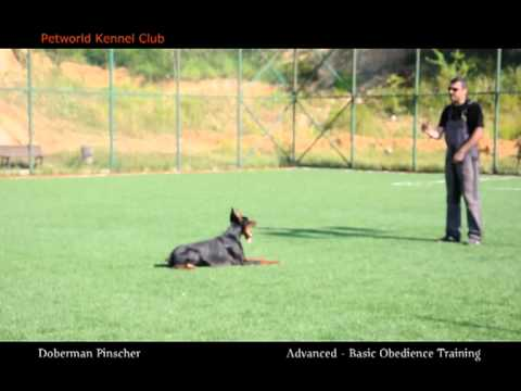 advanced-and-basic-obedience-training---doberman-pinscher-(pars)