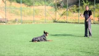 Advanced And Basic Obedience Training - Doberman Pinscher (pars)