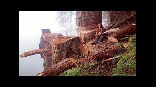 Amazing Dangerous Skills Fastest Tree Felling, Heavy Biggest Tree Cutting Down Chainsaw Machines