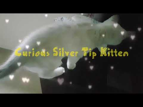 Curious silver tip kitten, british shorthair cat