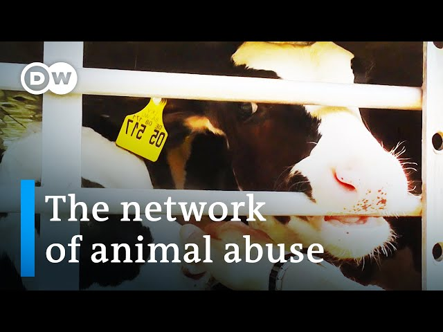 The cruelty of animal transports   DW Documentary