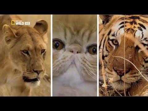 Дикая Сторона Кошек (Nat Geo Wild на русском языке)
