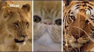 Дикая Сторона Кошек Nat Geo Wild на русском языке