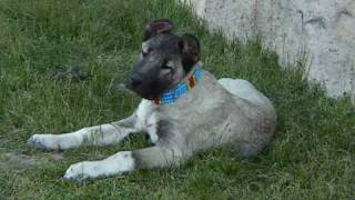 KANGAL KÖPEĞİ KANGAL DOG ANATOLİAN DOG LİON JR. PANZER BEST DOG BİG DOG TURKİSH DOG
