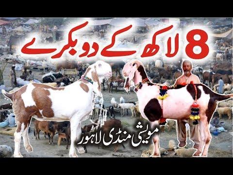 Lahore Bakra Mandi | Most Expensive Heavy Weight Bakra | Episode 6 New Video Urdu/Hindi