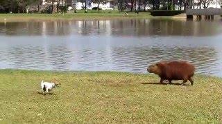 Cães vs Capivaras vs Quero-Queros vs Emos