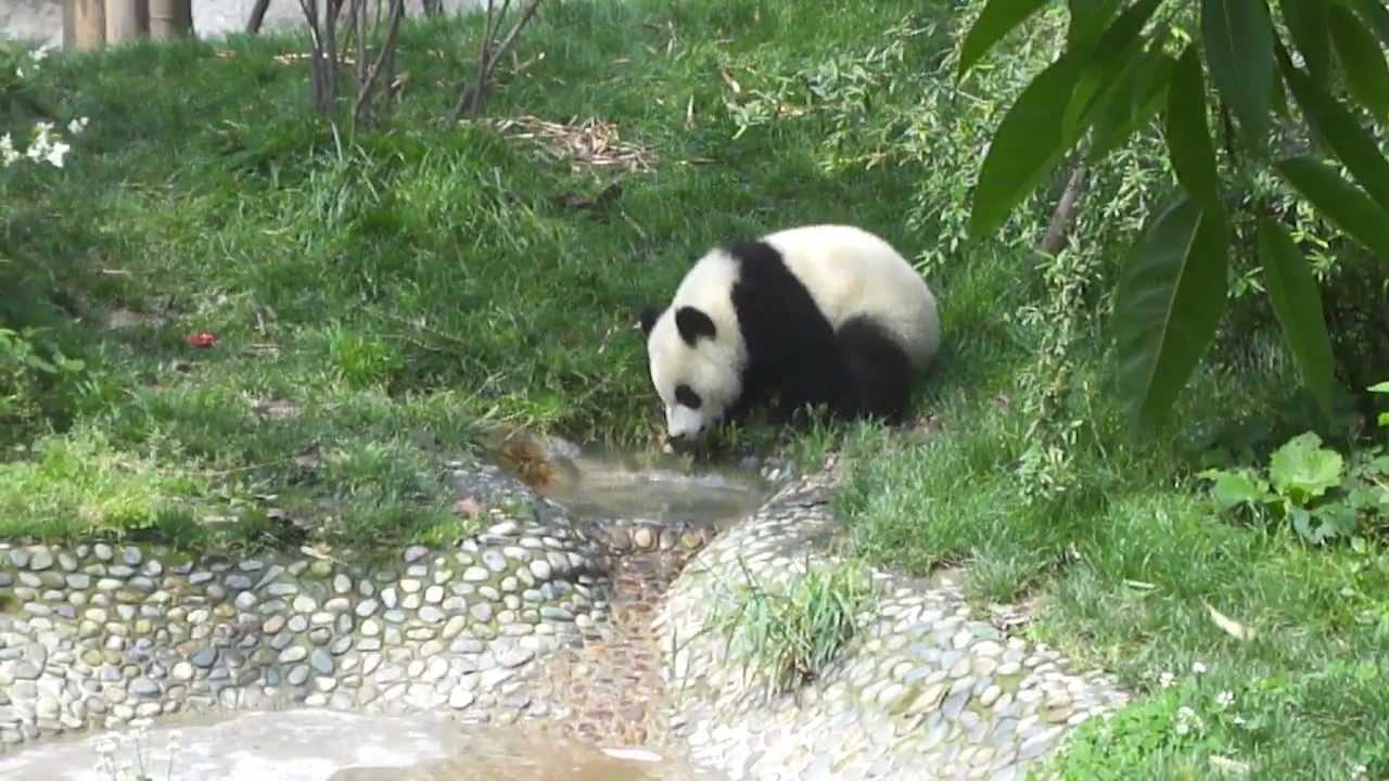 Giant Panda Drinking Water Youtube