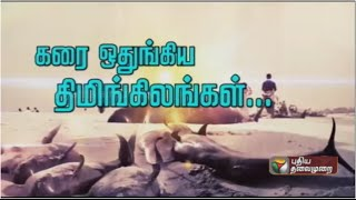Why did 80 whales washed ashore in Thiruchendur?