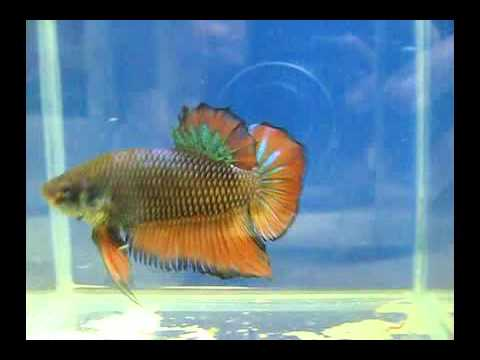 Giant betta 39 s for sale wholesale prices on 10 or more for Giant betta fish for sale