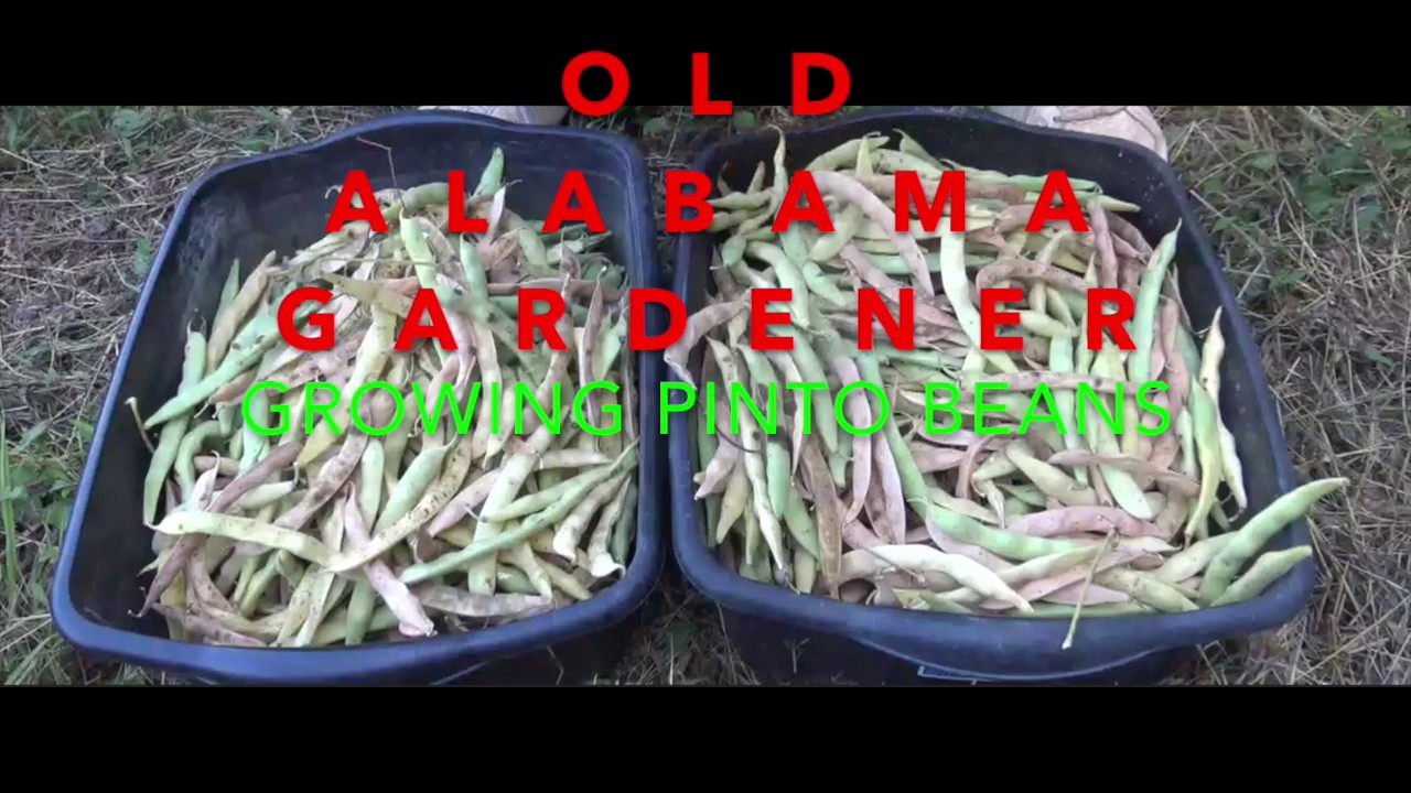 Pinto Beans Secrets Tips On How I Grow Them Oag Youtube