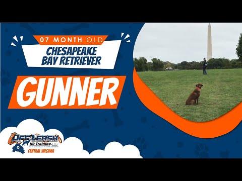 7mo Chesapeake Bay Retriever (Gunner) Best Dog Trainers in VA