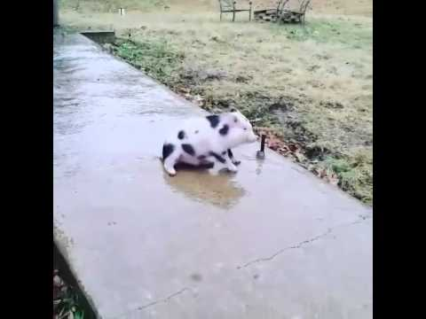 Someone Get This Mini Pig Some Booties