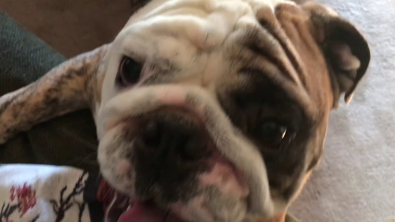 reuben-the-bulldog-tag-you-re-it