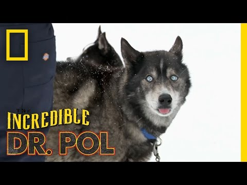 Off To The Races!  The Incredible Dr. Pol