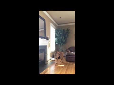 Dog turns on Roomba