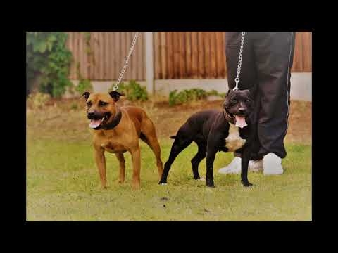 Riskys Staffordshire Bull Terriers.