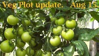Allotment Diary Aug 15 : Veg Plot, Polytunnel Greenhouse & Giant Veg Gardening Update
