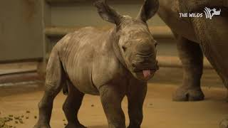 Southern White Rhino Calf