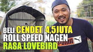 BELI CENDET 4,5JUTA ROLL SPEED NAGEN RASA LOVEBIRD