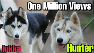 Natural Matting Siberian Husky Dog breeding  powerful Matting stud dog