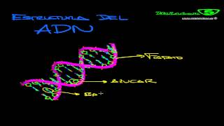 ADN: Ácido desoxirribonucleico, cromosomas y bases nitrogenadas. Genética Mistercinco