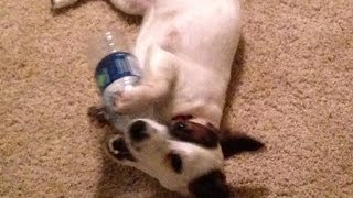 Gnarly Harley Stomps and Pounds Mrs. Beasly, - A Lion Dog and a Jack Russell Smack Down