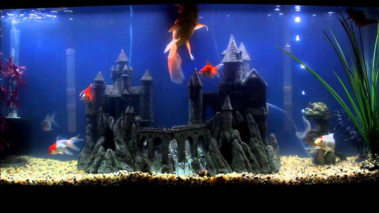 Fancy goldfish 55 gallon setup youtube for Fancy fish tanks