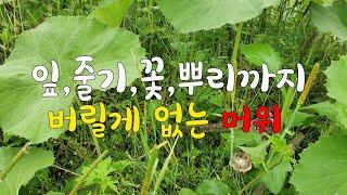 머위효능  ~ 잎,줄기…