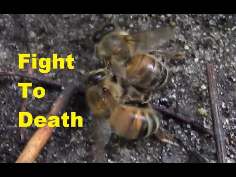 Two bees will fight to death, stinging and destroying wings