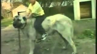 Sivas Kangal Çoban Köpeği Tanıtım Belgeseli