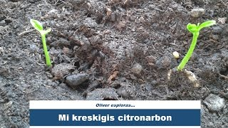 Kiel mi kreskigis citronarbon | How I grew a lemon tree | #Esperanto