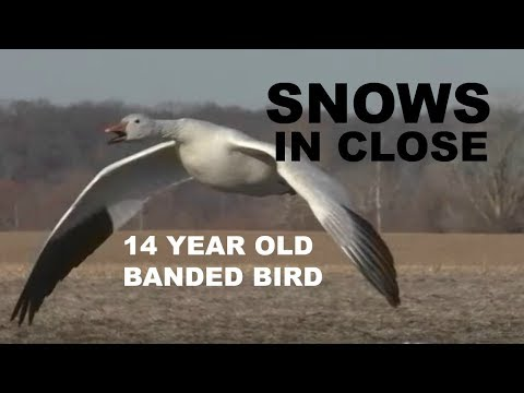 Snow Goose Hunting 2018: A 62 Bird Day!