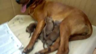 非常に愛情深く、優しい犬なので、仔犬のときから室内飼育して、十分な...