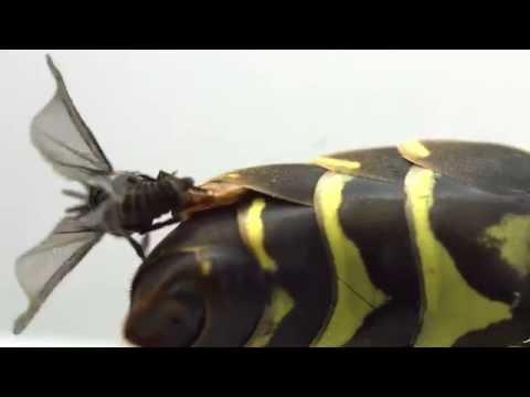 Strepsiptera mating (Xenos peckii, Xenidae)
