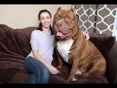 TOP 10 Largest Dogs Breeds In the World