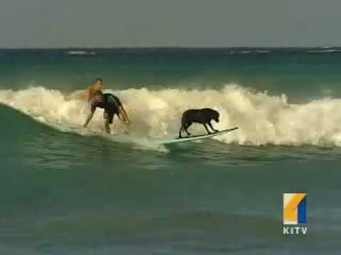 Waikiki surfing dog  Waikiki surfing lessons.  Oahu, Hawaii