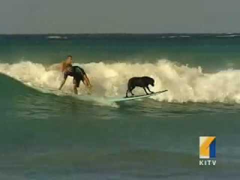 Waikiki surfing dog  Waikiki surfing lessons.  Oahu, Hawaii
