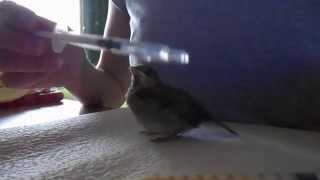 Принудительное кормление птенца / слетка воробья