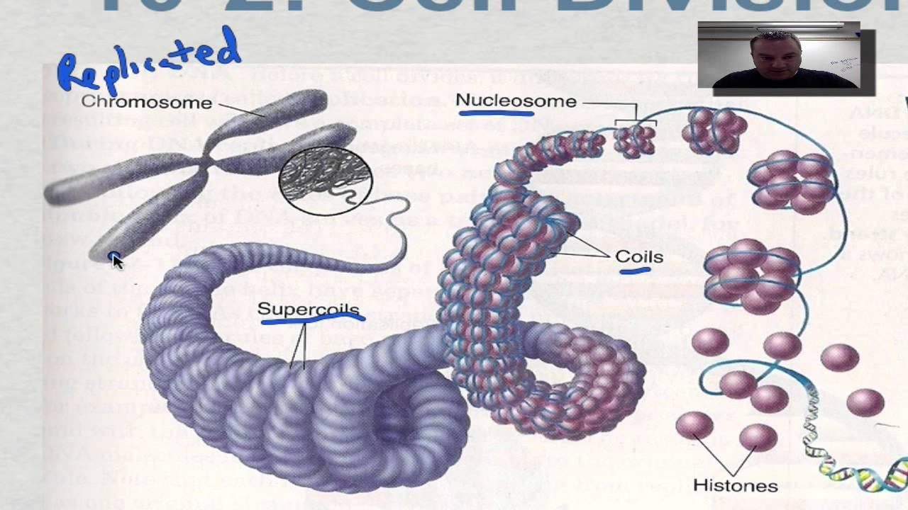 Chapter 10 Part 3 - Eukaryotic Chromosomes