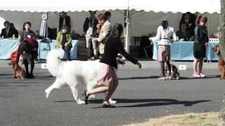 Alain at the dog show. アランが千葉西セントラル犬友クラブ展に出場し...