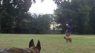 Curie Off Leash Training | Dog Obedience College Arkansas
