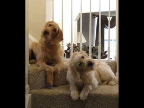 Labradoodle Labrador Retriever And Poodle Mix Spockthedog Com