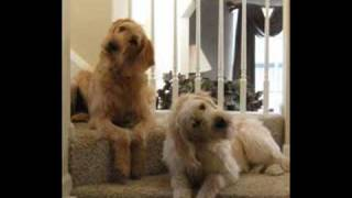 Cute Labradoodle Puppy Video