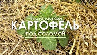 Картофель под соломой! Залог богатого урожая