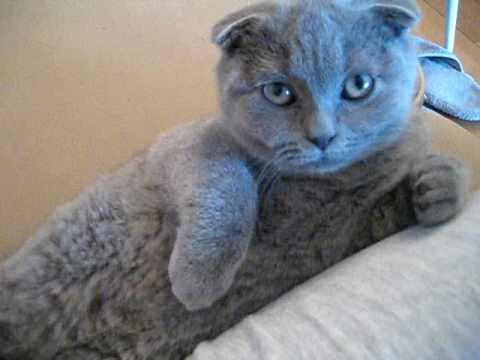 Scottish Fold Kitten Sleepy in Crazy Position