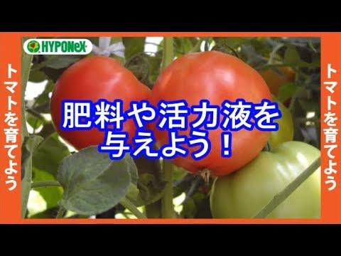 トマト 追肥 タイミング
