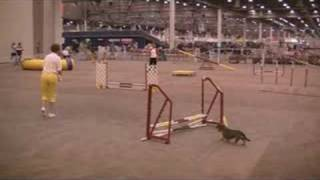 Fancy The Miniature Wirehaired Dachshund - Agility Runs