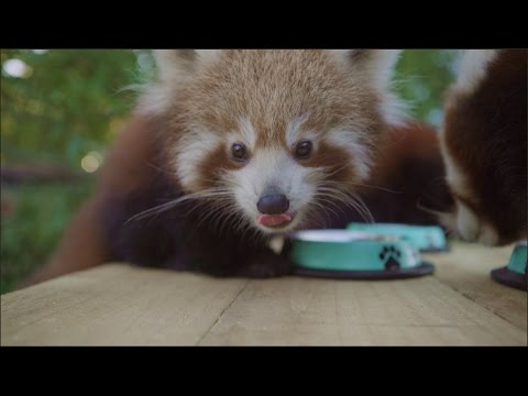 Red Panda Triplet Cubs drink from puppy bowls